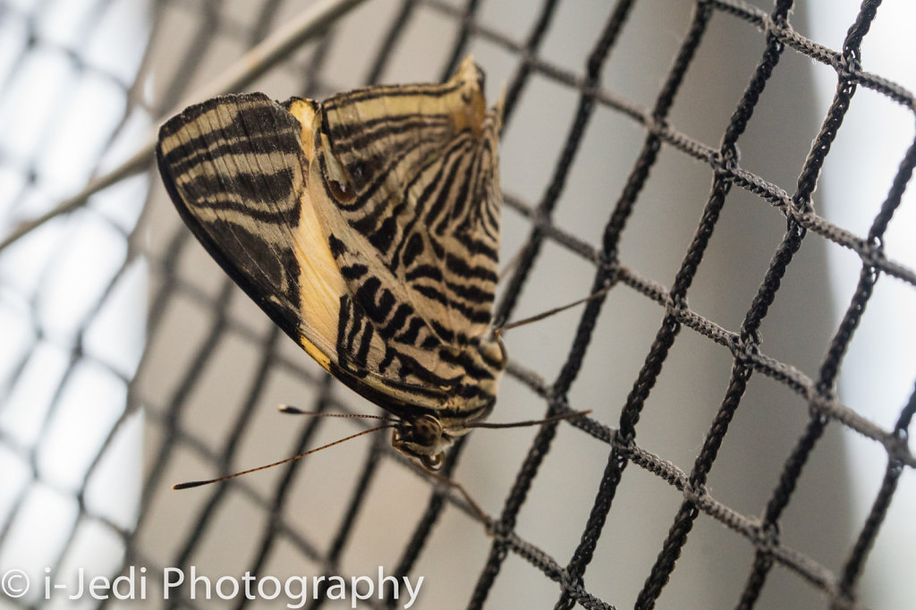Tropische-Schmetterlinge-Augsburg-05574.jpg